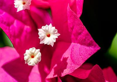 """""""Petite Fleurs de Bougainvillée,"""" Catalina Foothills, Tucson, AZ, 2020."""