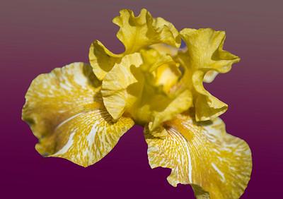 'Honey Tiger Iris,' Tucson Botanical Gardens, Tucson, AZ, 2018