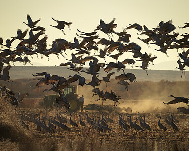 Farmer and Cranes