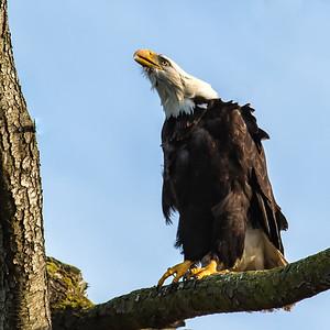 Daddy Eagle