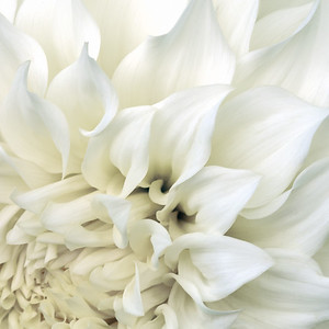 Softly focused closeup macro shot of part of a white dahlia, looking down the blossom.  Based on an original photograph