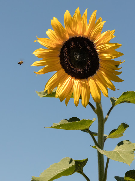 Vertical sunflower in bright sunlight.  Bee incoming, shadowed on leaf.
