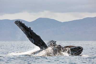 Humpback Whale with huge pectoral fin raised, lunge-feeding in the Channel Islands National Park, Santa Barbara