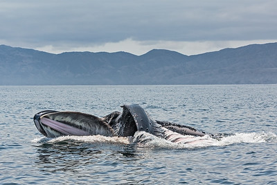 Humpback Whale lunge feeding in the Santa Barbara Channel near Channel Islands National Park. Mouth wide open.