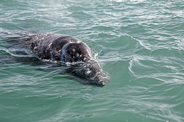 Close up of a young gray whale comes to have a look.  Detail of head.
