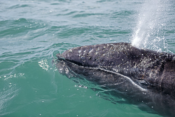 Head and eye of a baby Gray Whale looking at camera. Blowing.