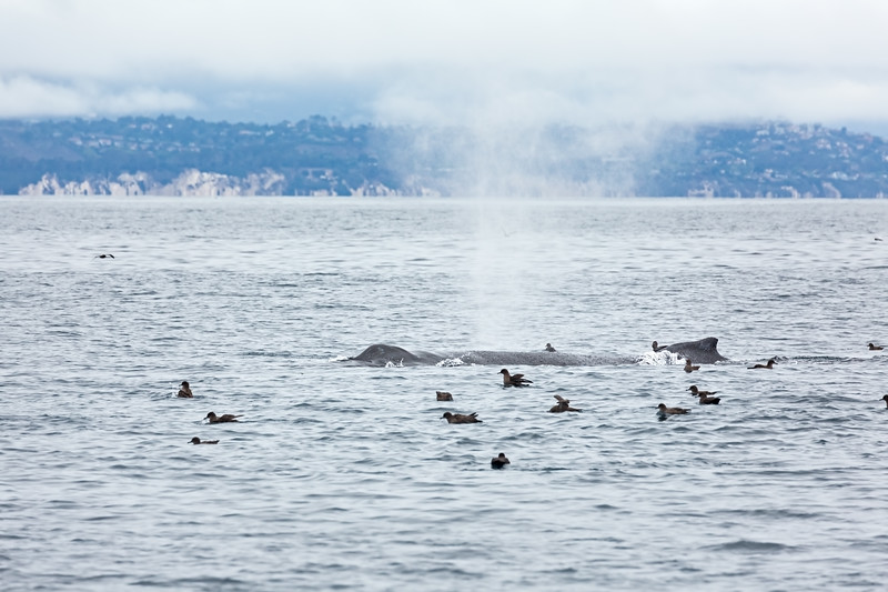 Humpback Whale in the Santa Barbara Channel with blowhole and fin visable.  Sooty Shearwater birds surrounding