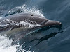 Bottlenose Dolphin parting the water