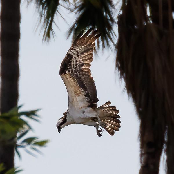 Osprey hunting in Baja