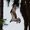 Osprey hunting in Baja