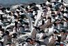 Beach full of Elegant Terns