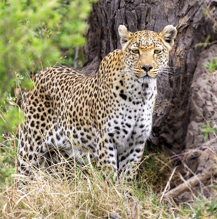 Leopards don't look at you.  This female at least looks our direction.  12:10pm