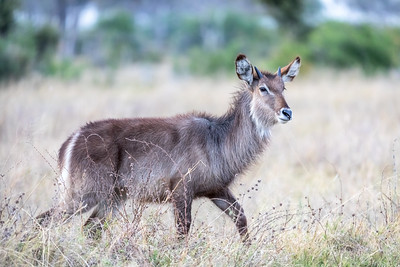 Beautiful, defuse mornng light on this gorgeous male Waterbuck.   7:19am