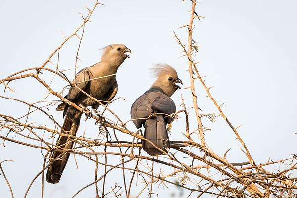 "Go Away Birds shouting ""Go Away"""