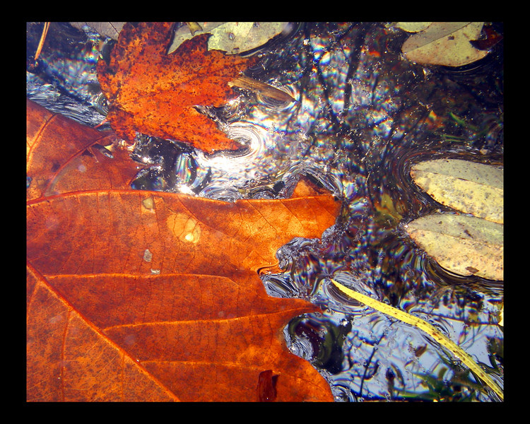 16x20  Underwater shot of leaves looking toward the trees above.