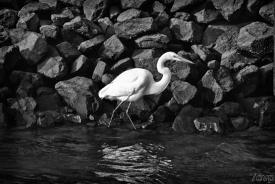 snowy egret - 2010