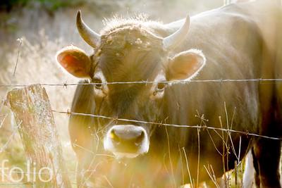 Roadside Cow, Lewiston, Maine