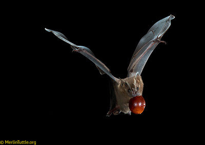 A Great fruit-eating bat (Artibeus lituratus) in flight with Balata fruit in Trinidad. This bat seed-dispersed fruit is popularly harvested and eaten from wild trees by Trinidadians.