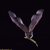 "A Seba's short-tailed bat (Carollia perspicillata) carrying a piper fruit  (Piper tuberculatum). Just one bat can carry up to 60,000 piper seeds to new locations in a single night. If even half that many seeds are actually carrried, and just one-tenth of one percent survive to become new seedlings that would still be 11,000 annually! These bats are key dispersers of ""pioneer plants"" into new clearings."