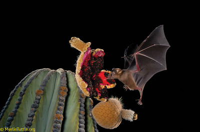 An endangered Lesser long-nosed bat (Leptonycteris yerbabuenae) feeding on the fruit of a Cardon cactus (Pachycereus pringlei) fruit  in Mexico. The is the world's largest cactus species, and it is heavily reliant on bats for both pollination and seed dispersal.