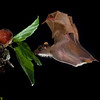 A Peter's dwarf epauletted fruit bat (Micropteropus pusillus) approaching a ripe fig in Ivory Coast. Small fruit bats provide invaluable reforestation, accounting for 95% of initial seed dispersl into clearings.
