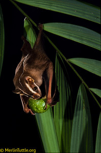 A Great striped-faced bat (Vampyrodes caraccioli) feeding on a wild fig (Ficus vallis-choudae) at a typical palm frond  nighr roost in Panama.