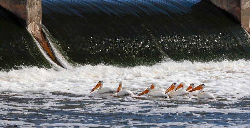 SW 04850 - Pelicans at De Pere