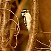 RM - Downy Woodpecker in Winter