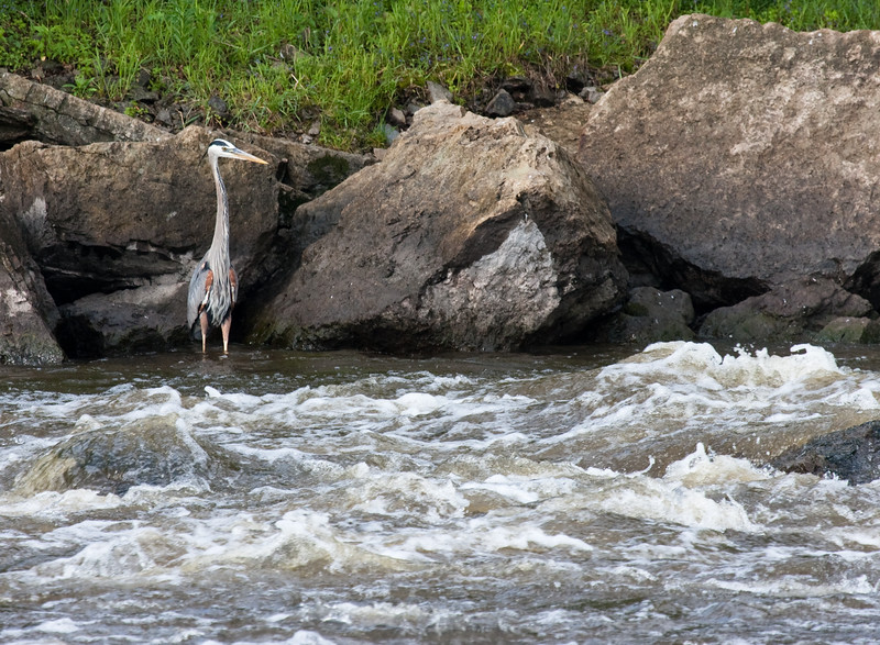 CE251 - Upper Fox Great Blue Heron in Rapids