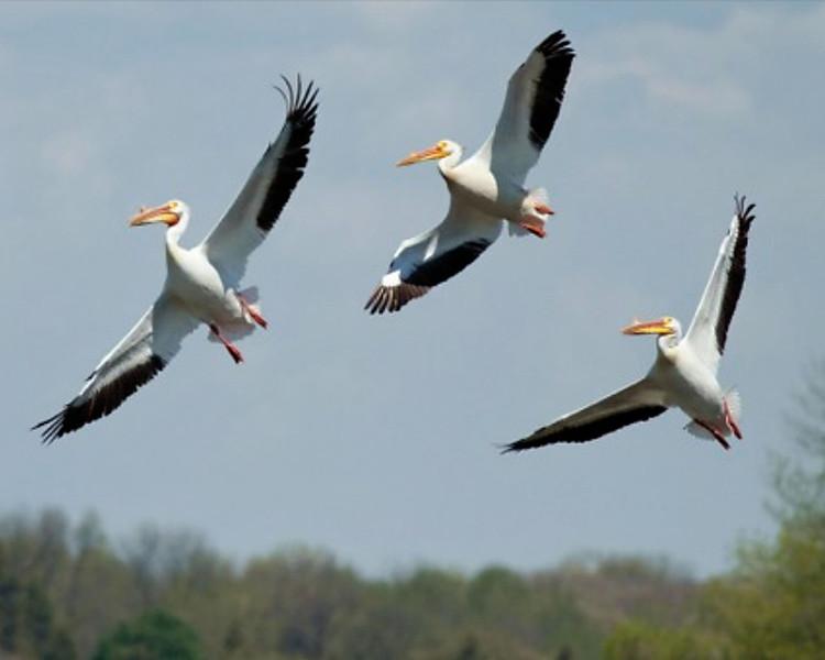 RM - Pelicans in Flight