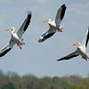 RM - Pelicans in Flight