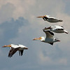 RM 2 - Pelicans in Flight