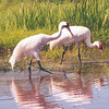 Whooping Cranes Looking for Lunch
