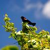 SW 04742 - Red Winged Blackbird in Montello