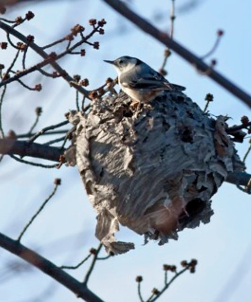 RM - White Breasted Nuthatch with Nest