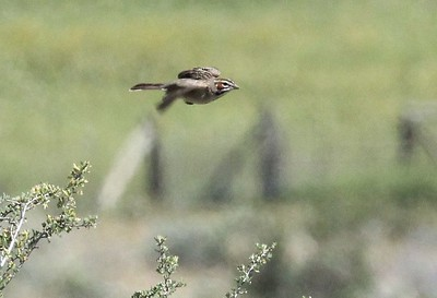 A Lark sparrow flying away when I tried to photograph it.