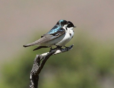 A pair of Tree Swallows - these nested in Box 1.