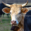 White horned cow among black cows