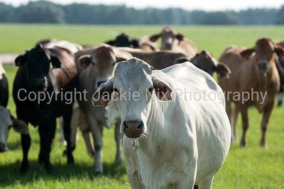 White commerical eared cow