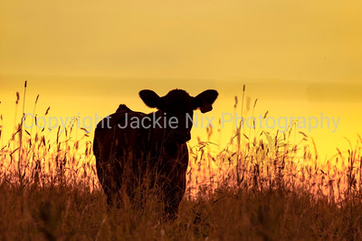 Cow silhouette with yellow sunset background