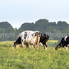 Holstein cows grazing in a pasture