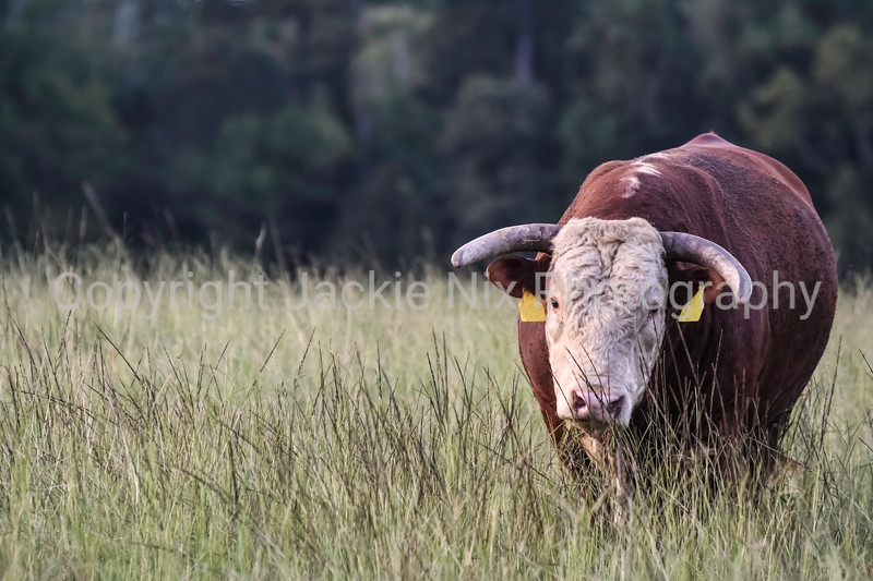 Hereford bull to right of frame