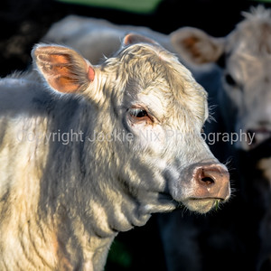 white heifer head - square