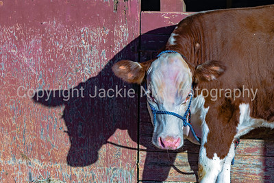 Show Heifer with shadow