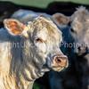 White Charolais heifer