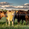 Different colored heifers