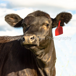 Black Angus heifer face - square