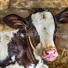Baby Holstein calf