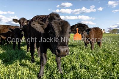 Curious black heifer