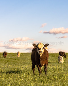 Stocker cattle in rye grass pasture - vertical